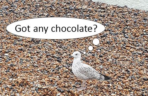 Brighton Seagul